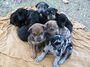 Multicolor Doberman X GreatDane,  Bull Mastiff Pups
