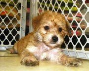 confident and sweet morkie puppy for sale