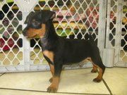 active and sweet min pin puppy for sale