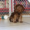 charming schnorkie puppy for sale