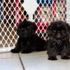 gentle and sweet shih tzu puppy for sale