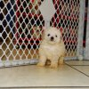 gentle and sweet toy poodle puppy for sale