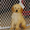 responsive and sweet golden doodle puppy for sale
