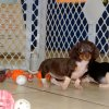 energetic and sweet mini dachshund puppy for sale