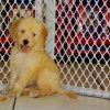 engaging and charming golden doodle puppy for sale