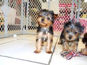 sweet and gentle yorkie puppy for sale