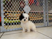 cute and gorgeous malti poo puppy for sale
