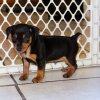 smooth and engaging min pin puppy for sale
