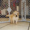 charming golden retriever puppy for sale
