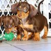 gorgeous and active mini dachshund puppy for sale