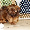 charming and responsive shih tzu puppy for sale