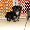 furry and gentle havanese puppy for sale