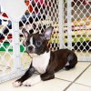 cheerful and adorable boston terrier puppy for sale