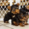 cute yorkie puppy for sale