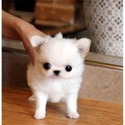Adorable Dachshund /Chihuahua Mix Puppies!