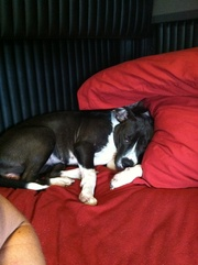 Full blooded female pit puppy 8wks old and two other pits