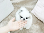 Super Cute Teacup Pomeranian Puppies Available (385) 233-4950