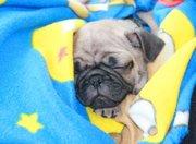 AKC Pug Puppies  for Adoption . 720-583-7624
