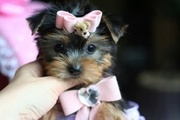 Certify  Male and Female Yorkie Puppies
