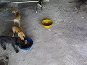 Great Dane puppy Sale
