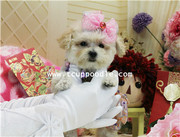 Super Tiny Teacup poodle #169