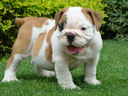 English bulldog puppies for family pet