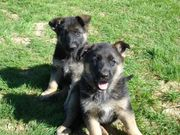 Beautiful AKC Registered German Shepard Puppies for sale