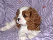 Stunning Cavalier King Charles Puppies available now…