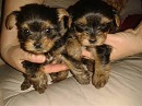 Healthy M/F Teacup Yorkie Puppies