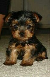Teacup Yorkie Puppies for free!603-435-2800