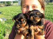 Cute And Lovely Teacup Yorkie Puppies Free For Adoption