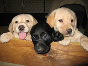 Yellow and black Labrador Retriever puppies.Text(508)470-0262