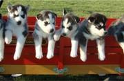Best* Give* Away* * Siberian* Husky* Puppies**817x592x0799