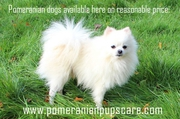Pomeranian Dogs For Sale